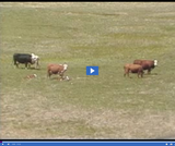 Geography of Utah. Climate, Soil, and Vegetation of Utah. Cattle grazing.