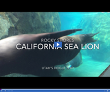 Patterns in Adaptations 2.2.1 - Animal Observations: Rocky Shores California Sea Lion