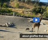 Phenomenon: Giraffes
